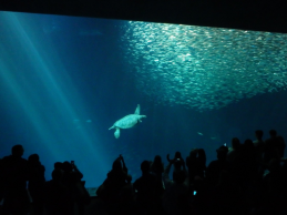 Crowds of people, a school of fish, and a sea turtle at the Monterey Bay Aquarium